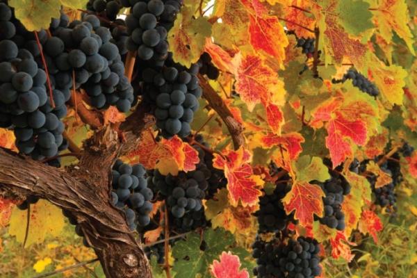 GeoKulinarium: georgische Küche & Rezepte aus Georgien ✔ Lange Tradition von Weinbau ✔ Weinherstellung ✔ Kwewri ✔ Marani ✔ Weinproduktion ✔ Weintradition